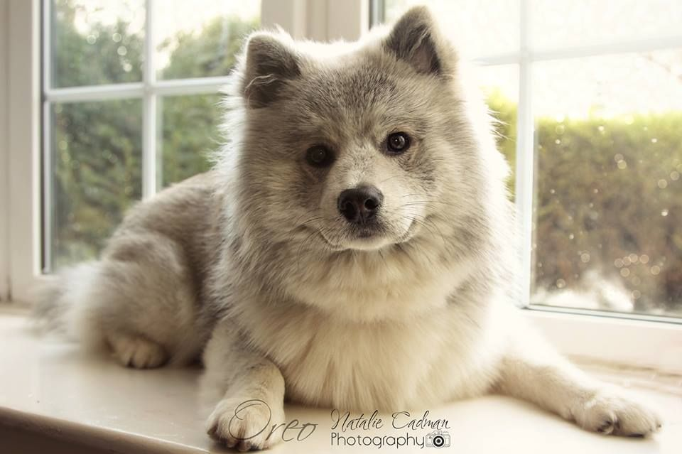 Full Grown Actual Pomsky From Uk Pomskies Pomsky Pomsky Puppies Cute Cats And Dogs Cute Dogs