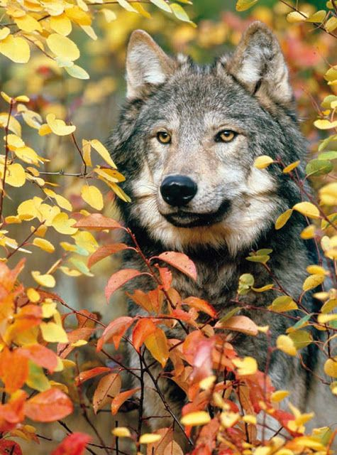 Die Aufmerksamkeit Der Sille Wolf Wolf Hunde Tier Wolf Und Wolf