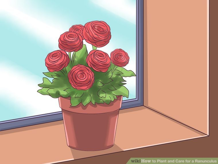 Plant And Care For A Ranunculus