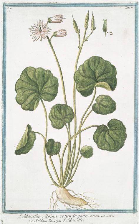 Soldanella Alpina Rotundo Folio Soldanella Soldaneille Alpine Snow Bells Botanical Art Botanical Prints Poster Design