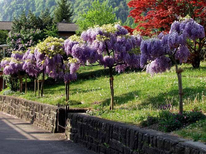 Fliederbaum Der Duft von Flieder erinnert mich immer an meine - gartenabgrenzung mit pflanzen