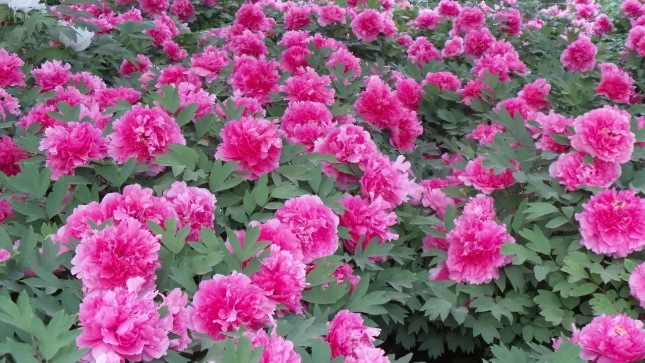 Pin on Henan Province China. Luoyang the City of Peonies.