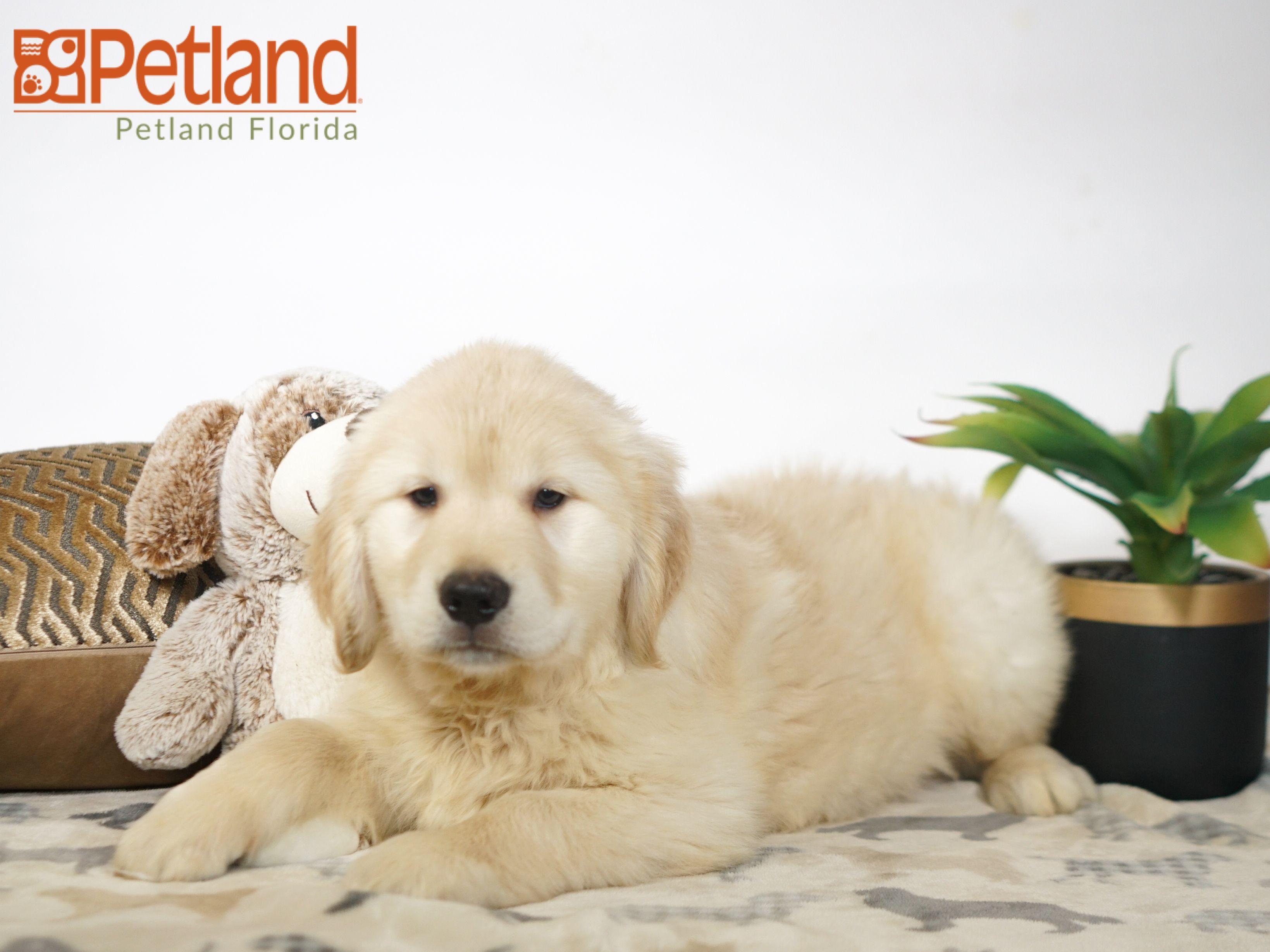 Puppies For Sale Puppy Friends Golden Retriever Puppies