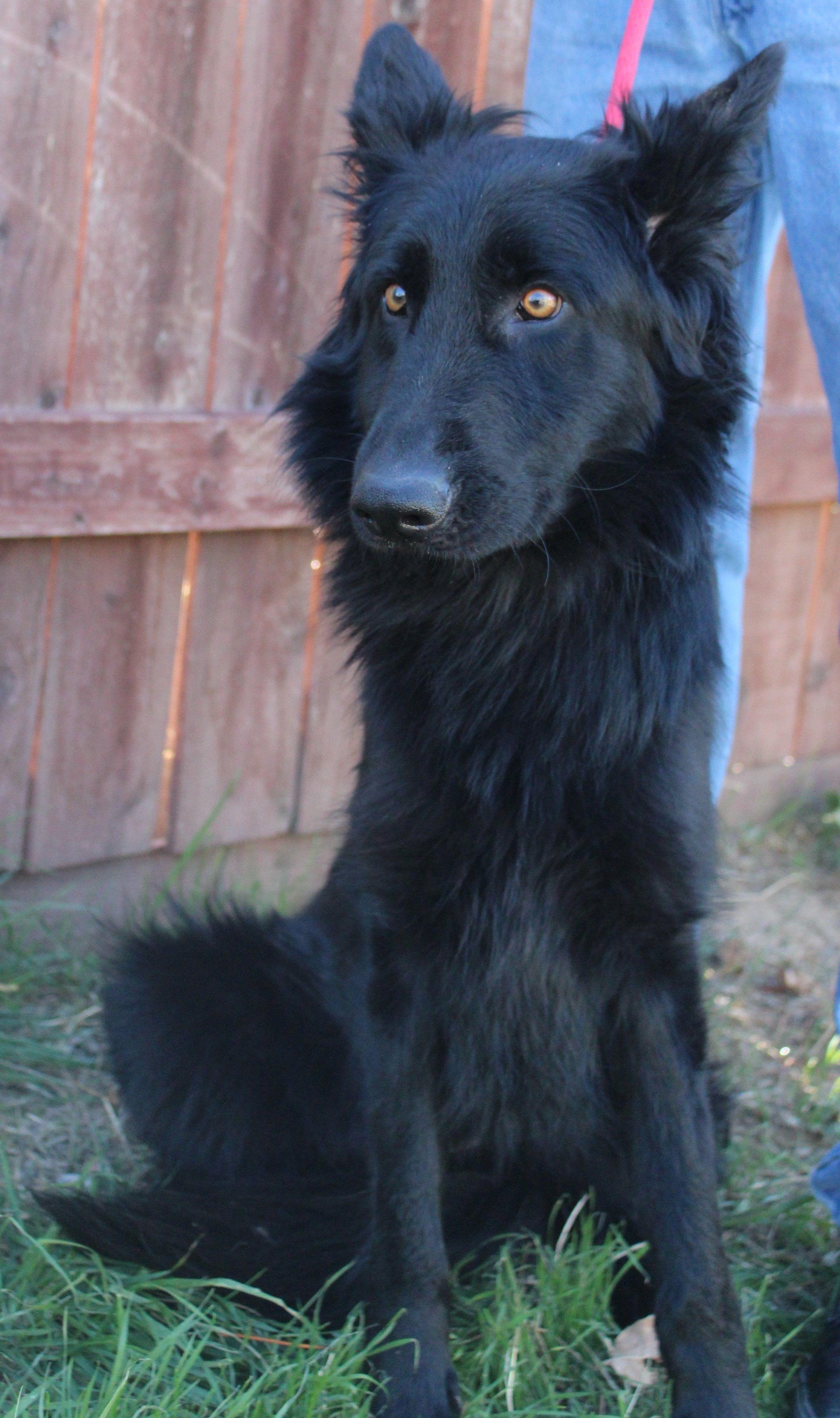 Reba is an adoptable belgian shepherd / sheepdog searching