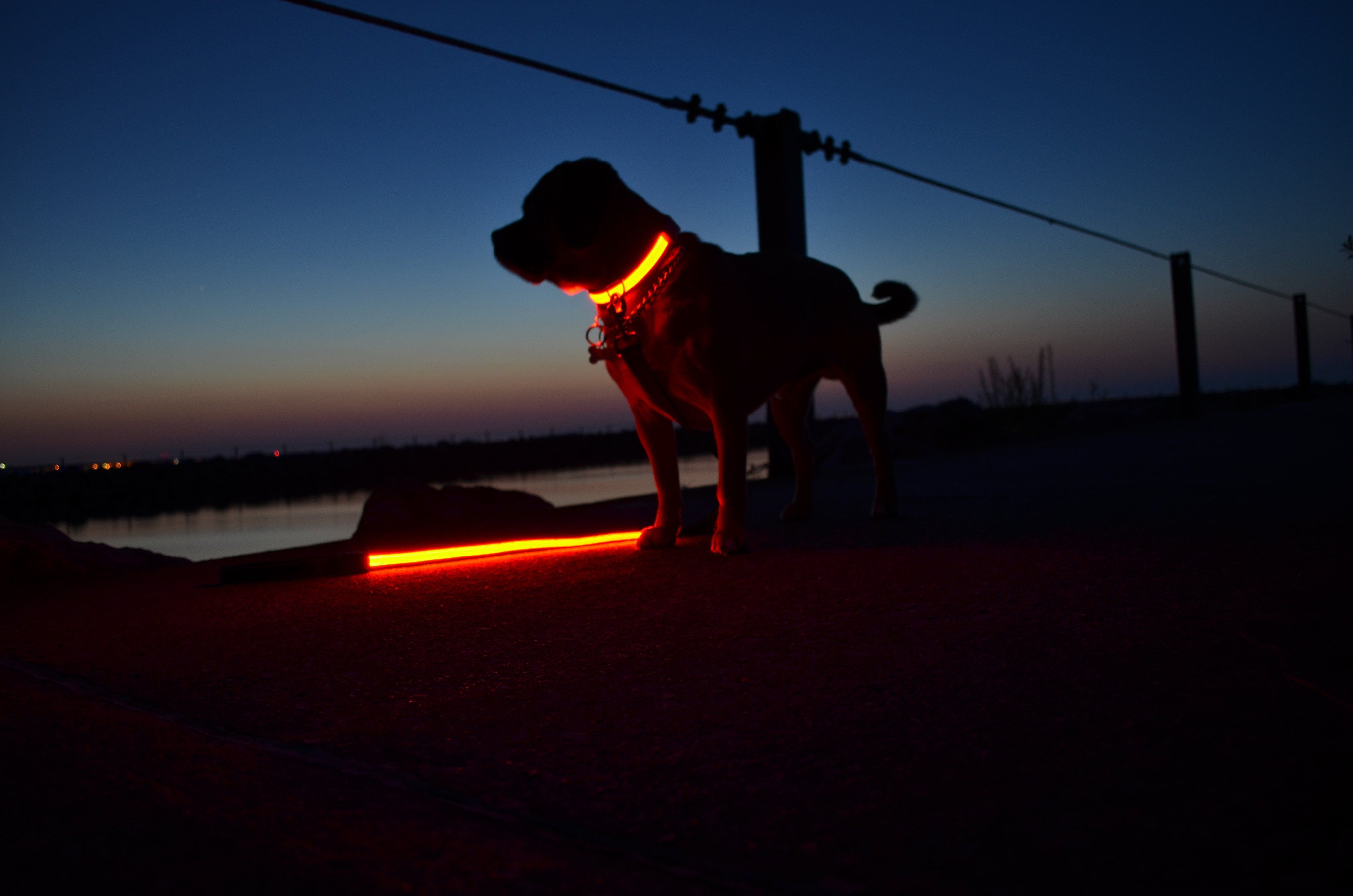 LED lighted dog collar lets you and your dog be seen in the dark by cars,  cyclists and other dog owners - black dogs especially can… | Dog leads, Dogs,  Night safety