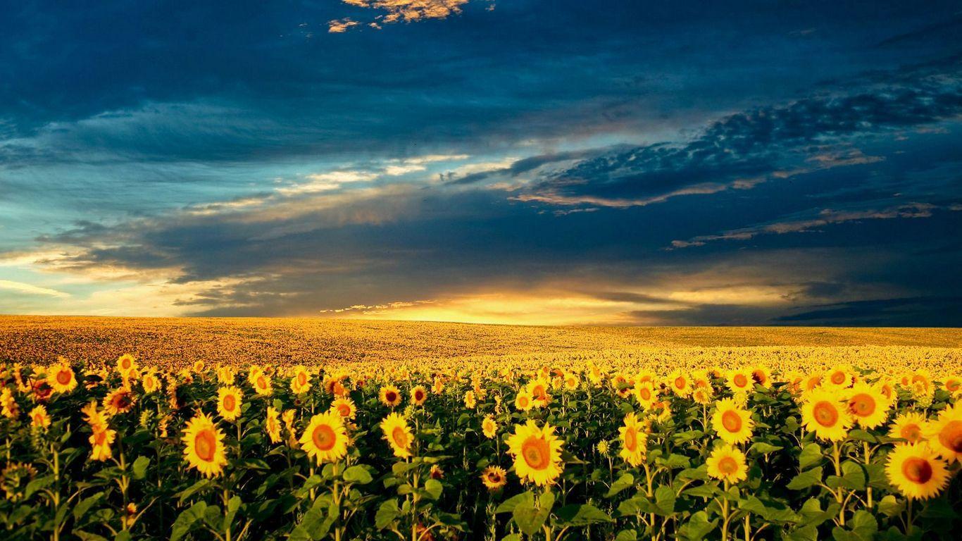 Sunflower Field  via www.cool-wallpapers.us