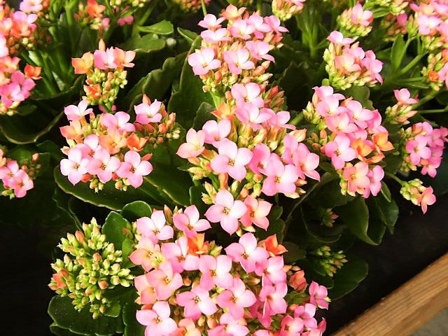 Kalanchoe blossfeldiana propagation google search succulents and a pink flowering kalanchoe in bloom mightylinksfo Image collections