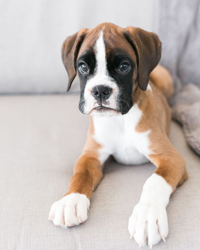 5 Pitbull Boxer Puppies In 2020 Boxer Puppies Baby Boxer Puppies Boxer Dog Puppy