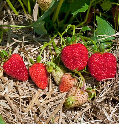 Albion Strawberry Plants Strawberry Plants Fruit Seeds Strawberry