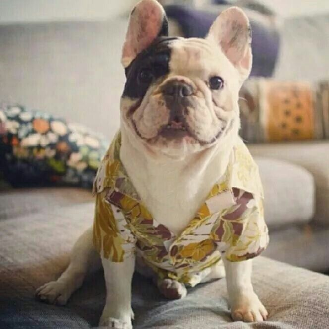 Hawaiian Shirt Day Manny The French Bulldog With Images Bulldog French Bulldog Domestic Dog