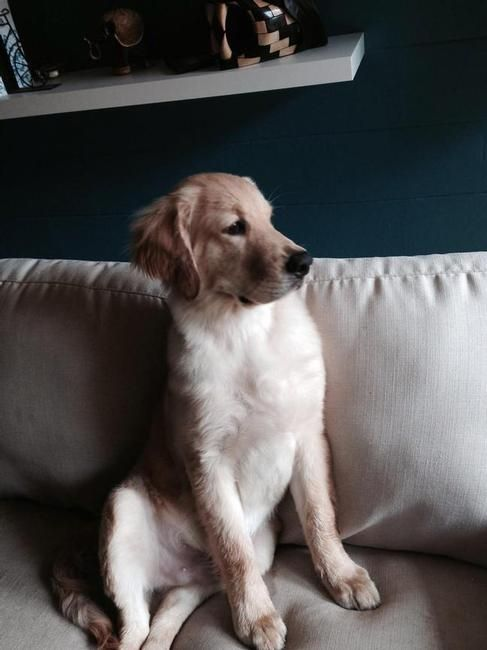 Lost Dog Golden Retriever In Jacksonville Fl Lost My Doggie