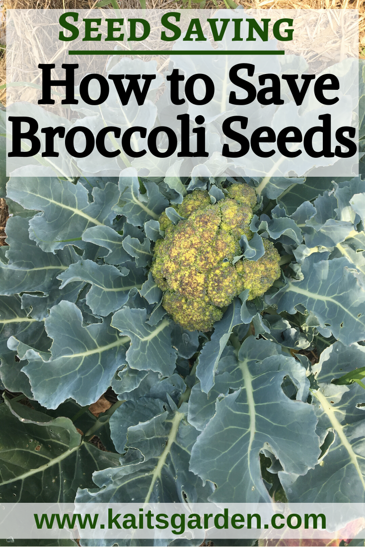 Seed Saving How To Save Broccoli Seeds
