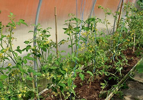 опыление растений в теплице