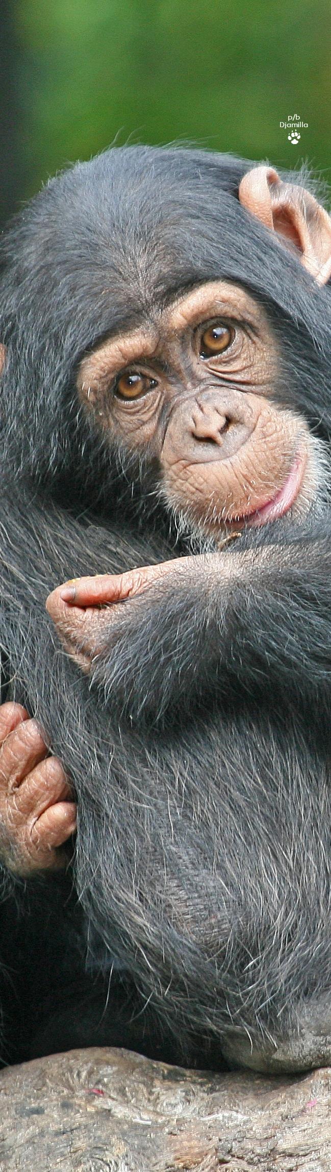 Baby Chimpanzee | Monkeys funny, Animals beautiful