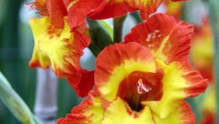How To Plant Gladiolus In Pots In 2020 Gladiolus Bulbs Gladiolus Flower Christmas Cactus Plant