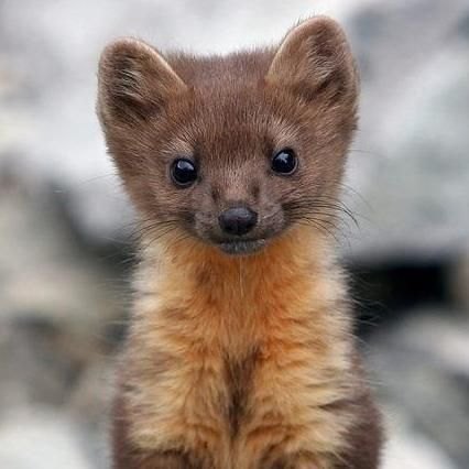 image result for pine marten cute 3 pinterest animal. Black Bedroom Furniture Sets. Home Design Ideas