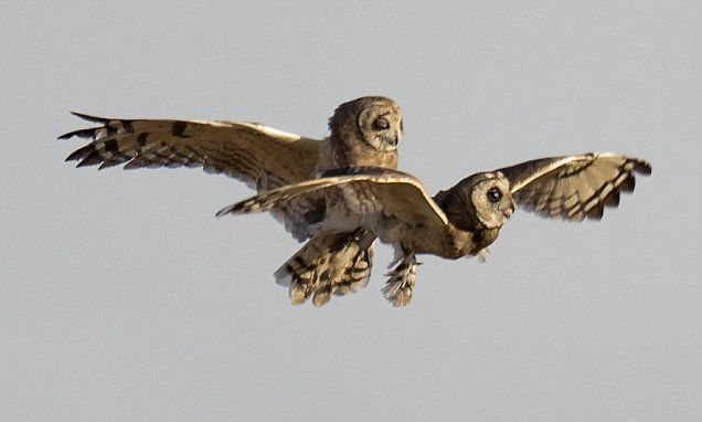 My hoot will go on... Titanic moment revisited by two owls courting