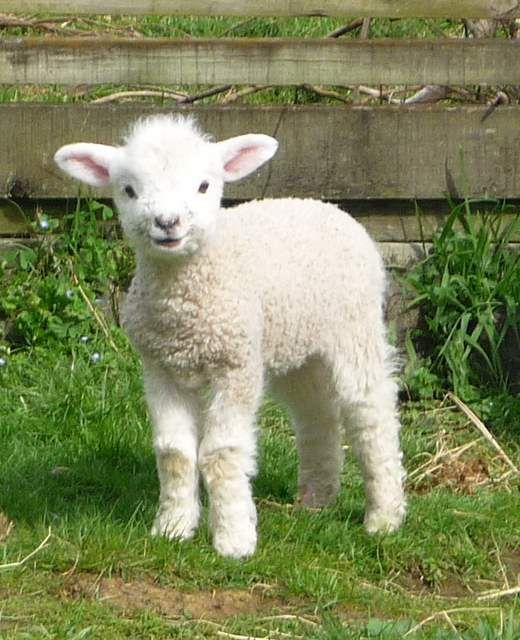 This Is Midgetshe A Very Cheeky Little Lamb Always Jumping