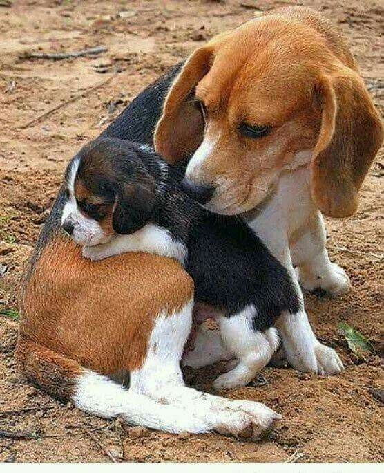 Pin By Launa Harmon Delp On Ranch Life Baby Beagle Cute