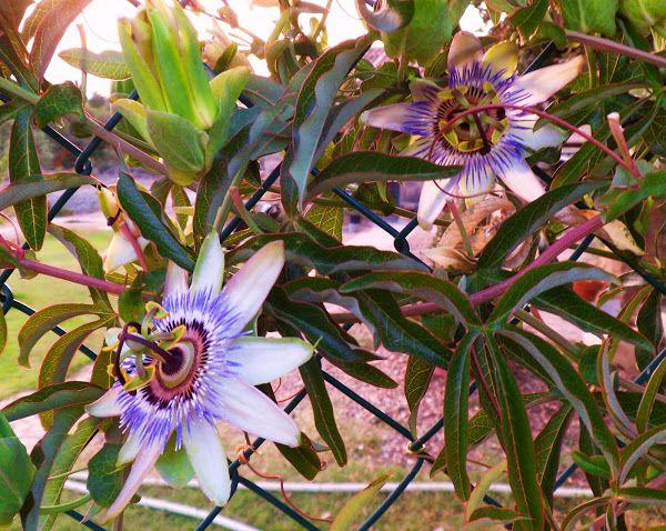 La flor de la pasión | Cuidar de tus plantas es facilisimo.com
