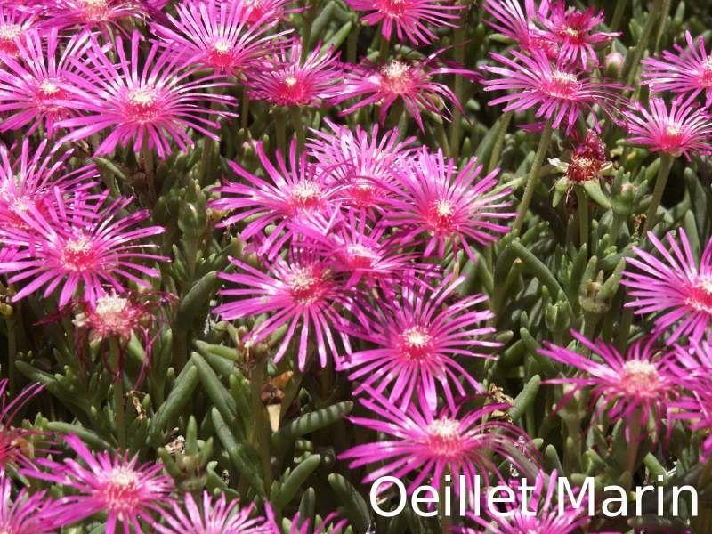 Oeillet marin jardin pinterest oeillet marins et for Plante grasse exterieur vivace