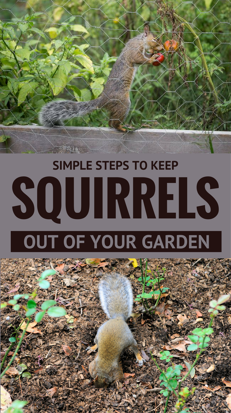 you could simply outsmart them aint that a trick keep reading and find out see here simple steps to keep squirrels out of your garden - How To Keep Squirrels Out Of Garden
