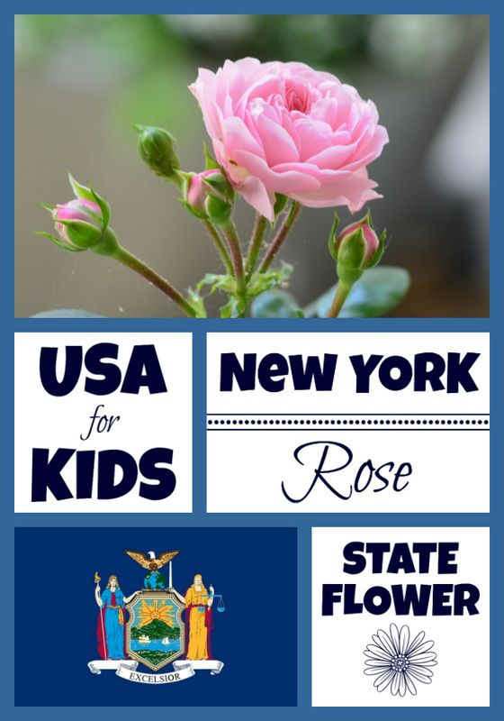 New York State Flower Usa Facts Flower Coloring Pages Facts