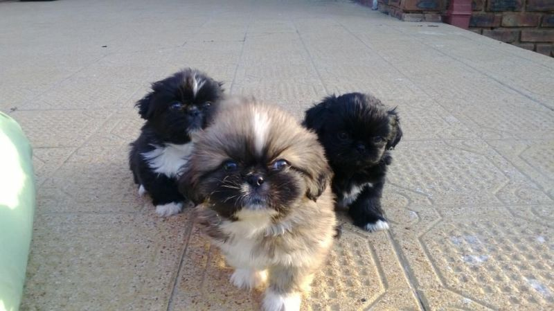 Dogs Puppies In Middelburg Gumtree South Africa Cute Dogs And Puppies Pekingese Puppies Pekingese Dogs