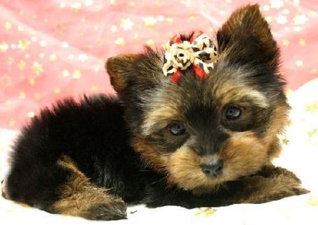 Nyc Yorkie Yorkshire Terrier Puppies For Sale In Brooklyn New York Yorkie Puppy For Sale Yorkie Puppy Yorkie Puppy Care