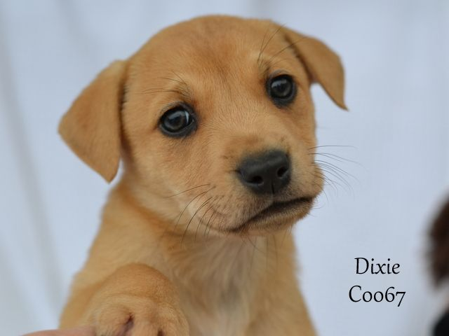 Labrottie Dog For Adoption In Conroe Tx Adn 438744 On