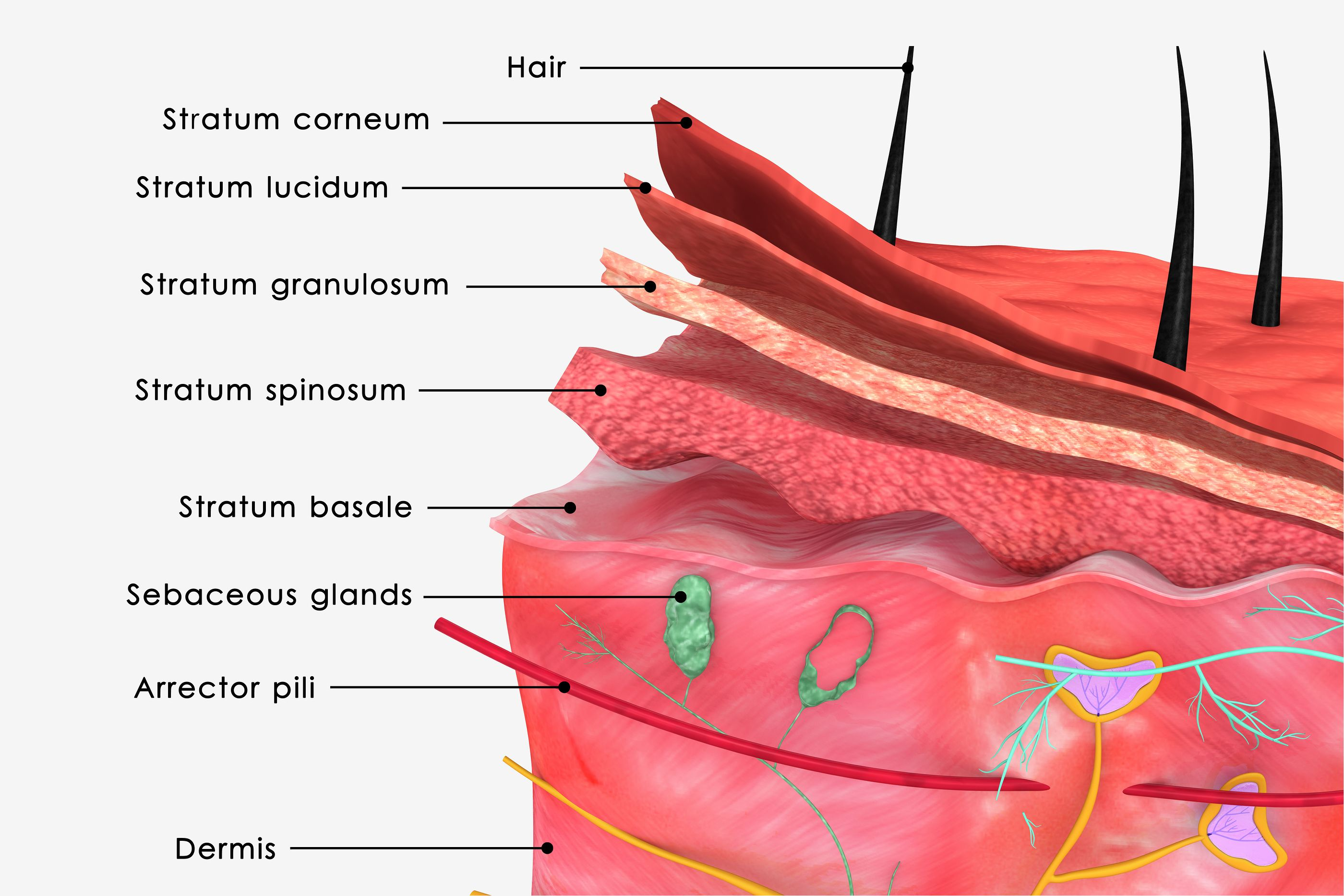 skin anatomy | Anatomia e Sistema Tegumentar | Pinterest | Anatomy