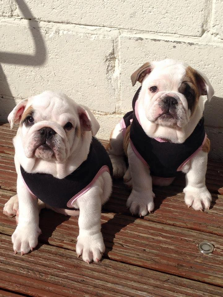 Double trouble duo. Bulldog puppies, Cute puppies
