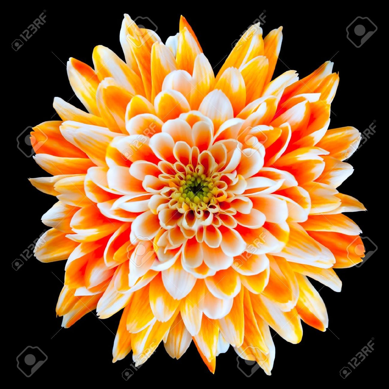 Chrysanthemum White Images Stock Pictures Royalty Free Chrysanthemum White Photos And Chrysanthemum Flower Birth Flower Tattoos Chrysanthemum Flower Pictures