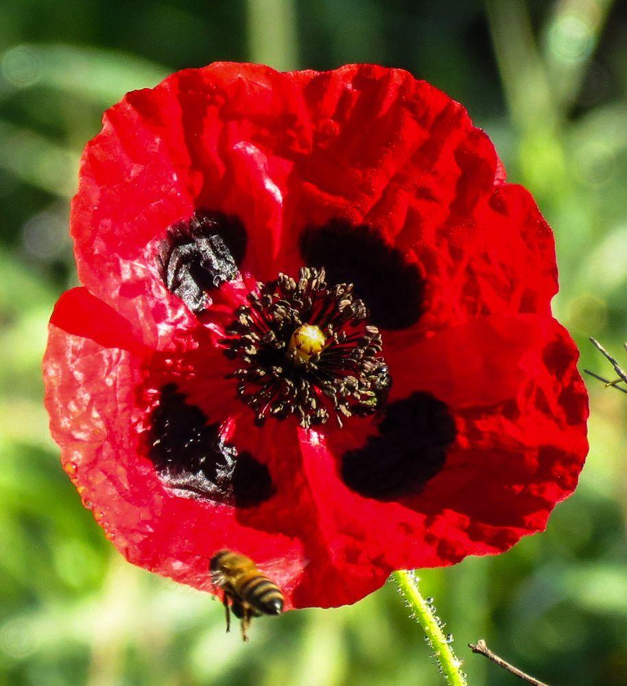 500x Papaver Somniferum 034 Turkish Poppy 034 Schlafmohn Keimfahig Selten Potent Schlafmohn Mohn Ebay