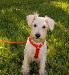 Petfinder Adopted Dog | Schnauzer | Miami, FL | Taffy
