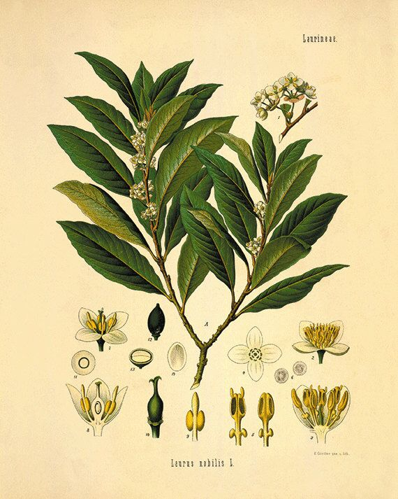 Bay leaf art antique botanical art prints Vintage herbs art garden ...