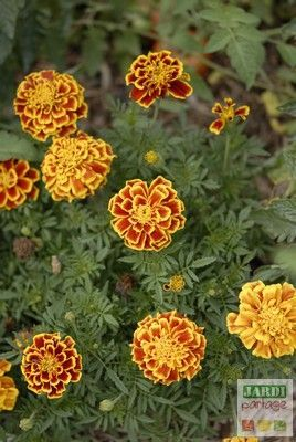 5 plantes fleuries bien utiles au potager jardinage pinterest huerto jardiner a y jard n. Black Bedroom Furniture Sets. Home Design Ideas