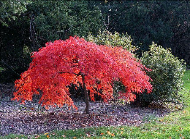 Iridescent Japanese Miniature Maple Maple Tree Landscape Trees