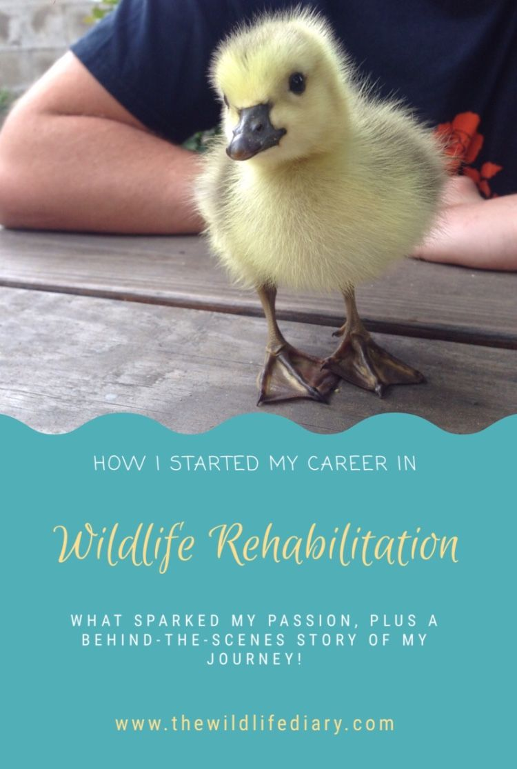 a Wildlife Rehabilitator Journey in