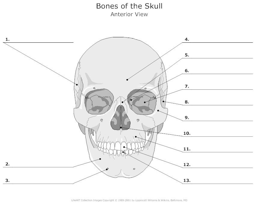 Anterior View of the Skull Bones Unlabeled | Human Anatomy ...