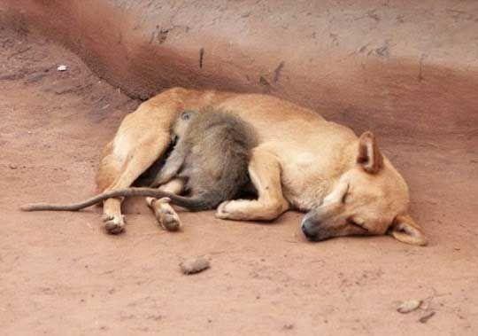 Cuddle Buddies, dog and monkey  http://pewpaw.com/?p=10084