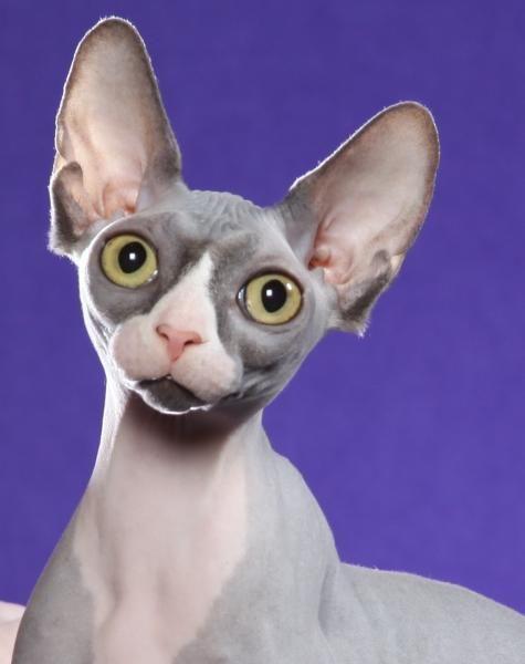 I Wanna Sphynx So Bad Definitely My Next Breed Of Cat With
