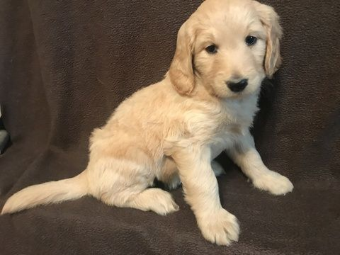 Litter Of 7 Goldendoodle Puppies For Sale In Macon Ga Adn 38322