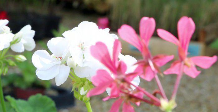 Astuces pour une belle jardinière de géraniums