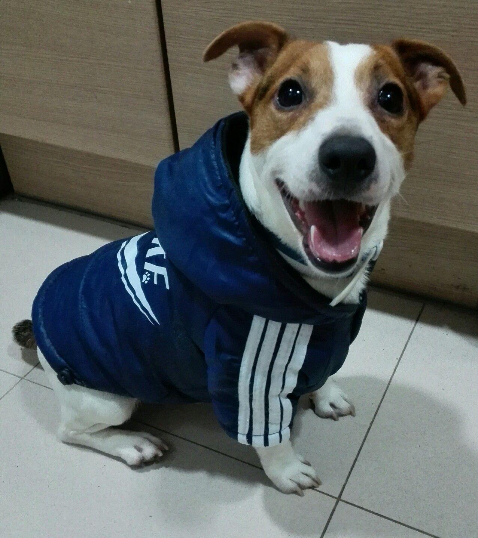Eddie nuestro Jack Russel terrier :)