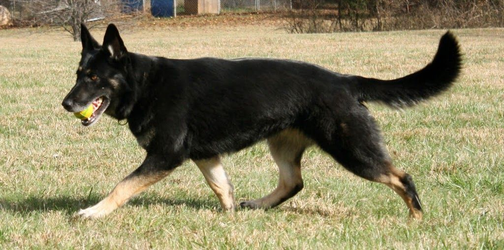 Another Black Tan Or Bicolor Thread Page 2 German Shepherd Dog Shepherd Dog Dogs Dog Training