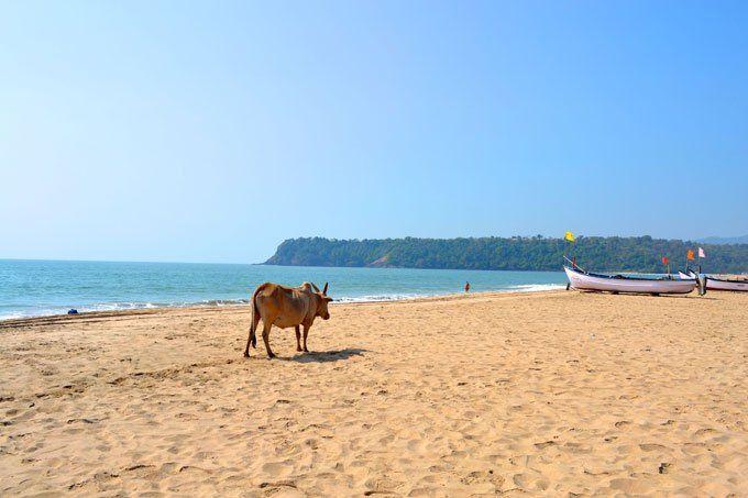 Agonda Beach Cow Goa India