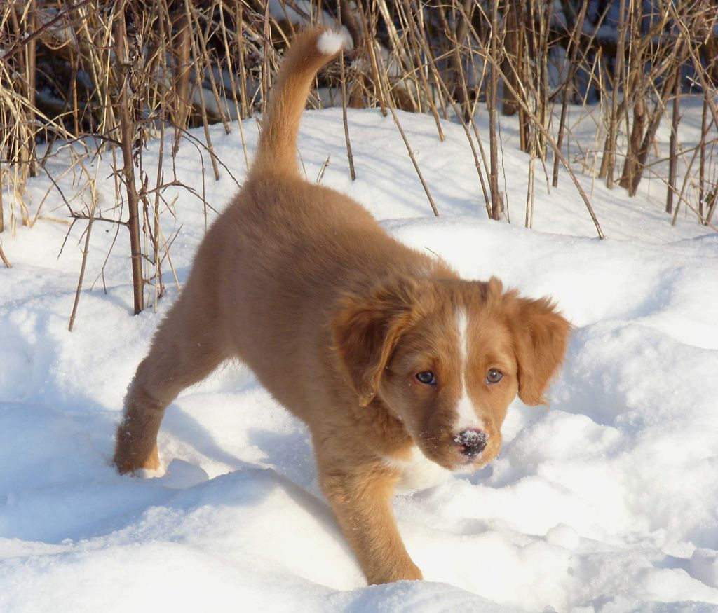 Nova Scotia Duck Tolling Retriever - Dogs breeds | Pets.
