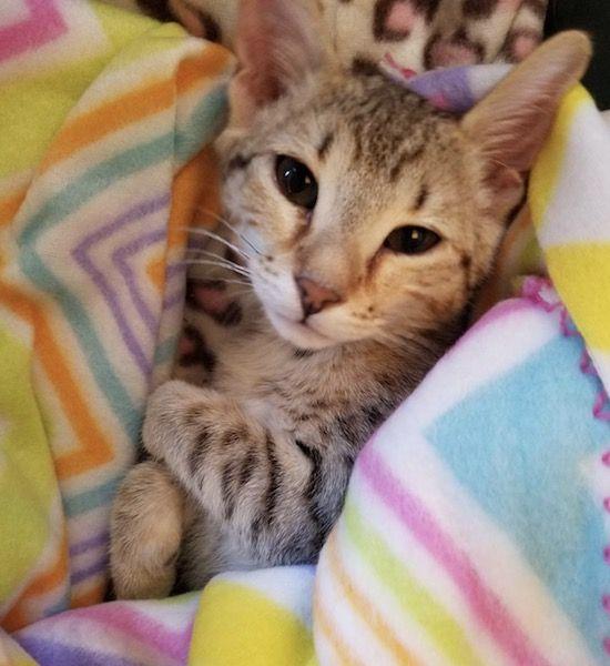 Alex Zelda F4 Female Savannah Kitten Savannah Kitten