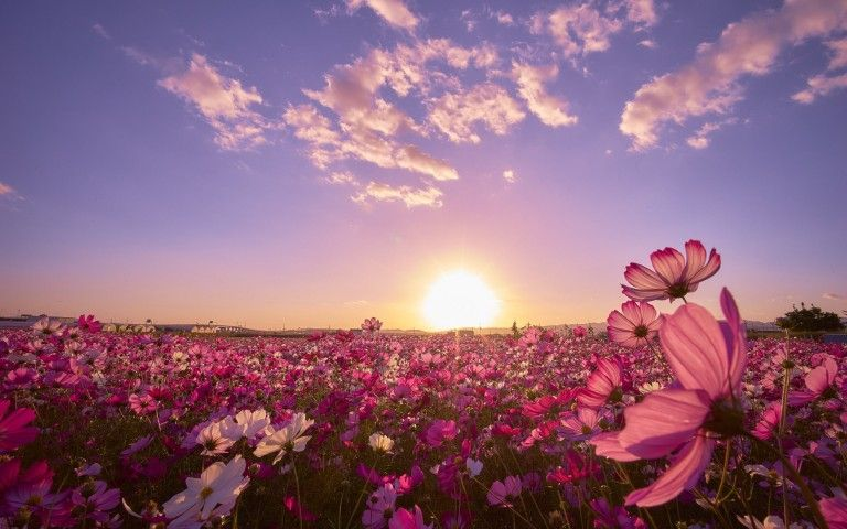 Pink flower field sunrise wallpaper evasion pinterest fields pink flower field sunrise wallpaper mightylinksfo